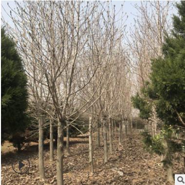 供应绿化树木白玉兰2-8-10-18公分大白玉兰树 白玉兰树基地
