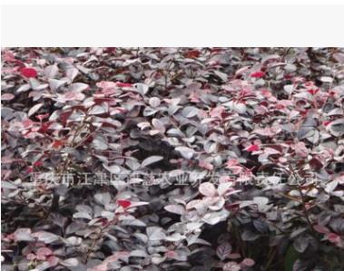 大量供应园林绿化苗木 红继木扦插小苗 种苗