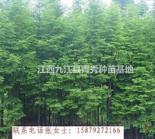 水杉苗木/江西水杉苗木低价出售/九江水杉苗木基地批发/