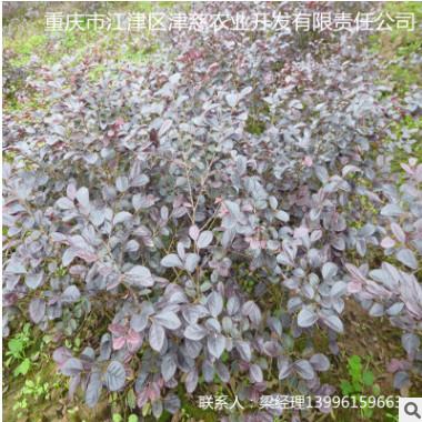 大量批发园林绿化扦插红花红继木苗