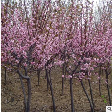批发工程绿化苗木庭院绿植花卉美人梅观花植物质量优规格全
