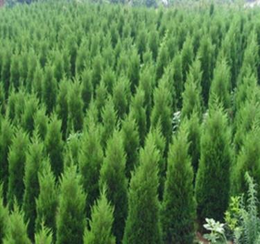 基地批发桧柏树苗 蜀桧 松柏树基工程绿化侧柏塔柏树量大从优