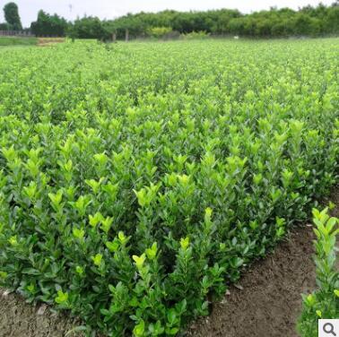 法国冬青树苗 大叶黄杨苗 红叶石楠苗 小叶瓜子黄杨苗 篱笆围墙苗