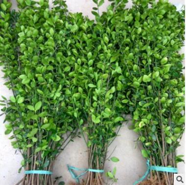 大叶冬青苗批发 常绿丛生灌木大叶黄杨篱 园林风景绿化树苗盆栽