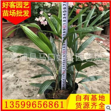 细叶棕竹 高30冠30 价格2.2元 漳州基地直销