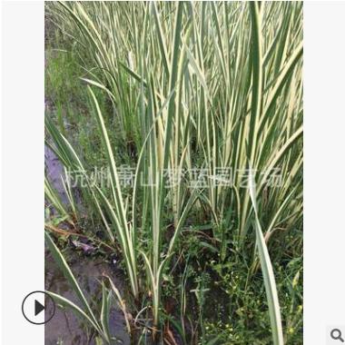花叶菖蒲 水生 植物 净化 水 空气 美 化 环境 萧山 苗圃 品种全