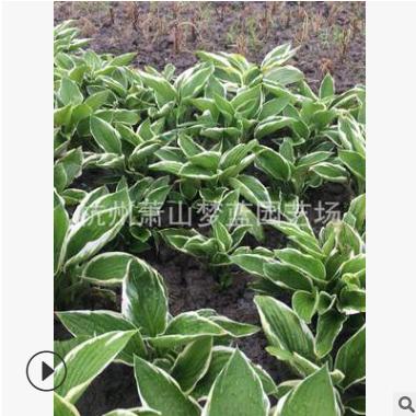 花叶玉簪 玉簪 盆栽 地栽 庭院 园林 绿化 优质苗 成活率 高