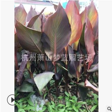 紫叶美人蕉 品种 齐全 工程 园林 绿化苗 根系旺 成活率高 优质苗