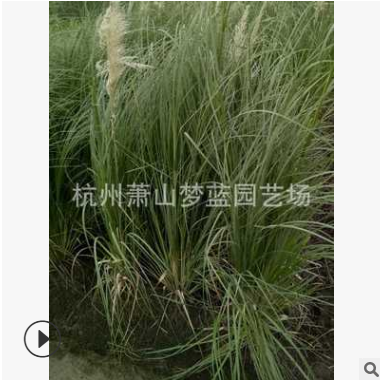 短蒲苇 芦竹 狼尾草 血草 都有 优质苗 成活率高 绿化工程 萧山苗