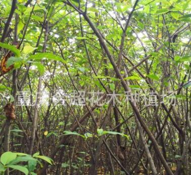 产地直销黄桷树苗 黄葛树 大叶榕 各种规格量大从优