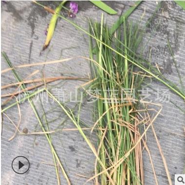 香蒲 观叶美化 环境 根系旺 成活 率高 绿化工程苗