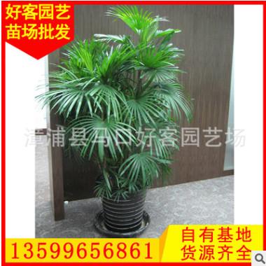 棕竹批发 盆栽地栽 多规格供应 室内客厅盆栽