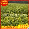 黄金叶批发20-40cm 地被苗 福建种植基地 量大从优