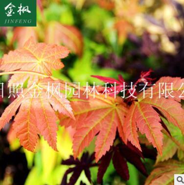 供应日本红枫 新品种黄八丈 批发日本红枫苗木 日本红枫小苗