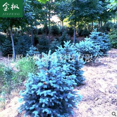 厂家提供精品美国蓝杉 科罗拉多蓝杉小苗 绿化用美国蓝杉苗木