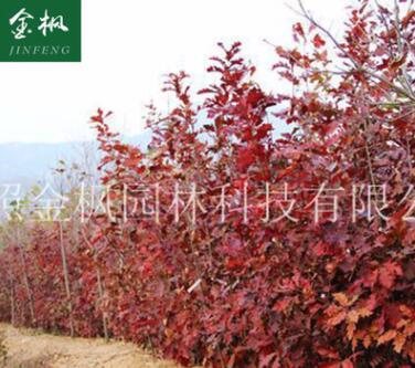 供应 北美红栎小苗 红橡树红槲栎 北美红栎绿化园林苗木