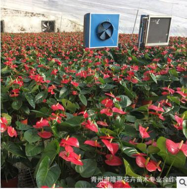 基地直销批发 红掌观花盆栽四季开花室内空气净化花卉绿植