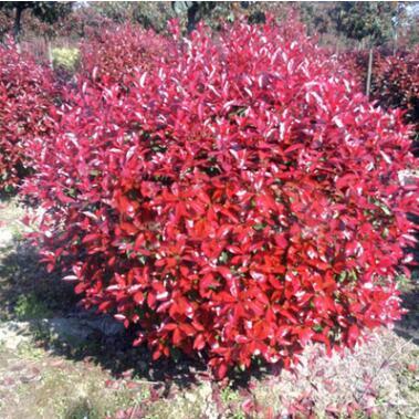 供应园林绿化苗木 红叶石楠 红叶石楠苗 红叶石楠树苗 工程苗