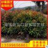 红车苗20-200cm批发 盆栽地栽 规格齐全 量大从优