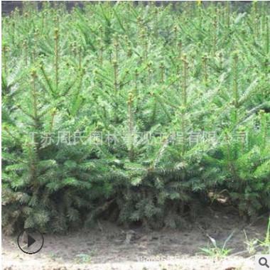 云杉树绿化工程 云杉小树规格全 工程绿化树木 四季常青绿化