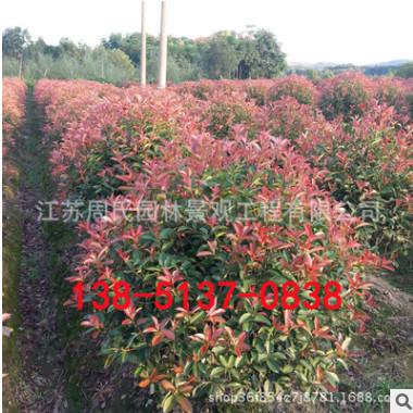 基地红叶石楠球树 红叶石楠柱 红叶石楠球工程绿化树木绿化彩叶