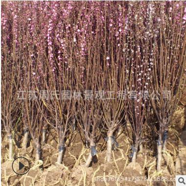丛生榆叶梅树行道树 独杆榆叶梅 庭院园林美化 工程绿化苗直销