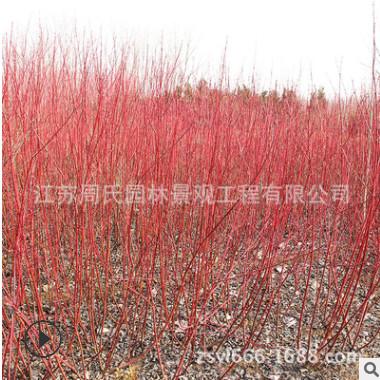 红瑞木小树批发 直销工程绿化 规格齐全 红瑞木树绿篱工程