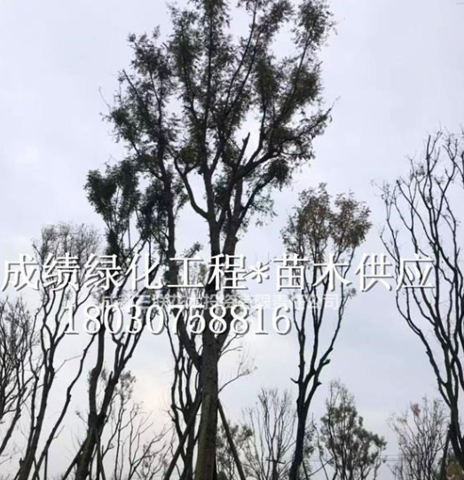 供应黄连木 成都黄连木种植基地、黄连木行情、黄连木照片