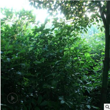 天竺桂种苗 种子 长期供应天竺桂 造林绿化批发中心 绿化乔木