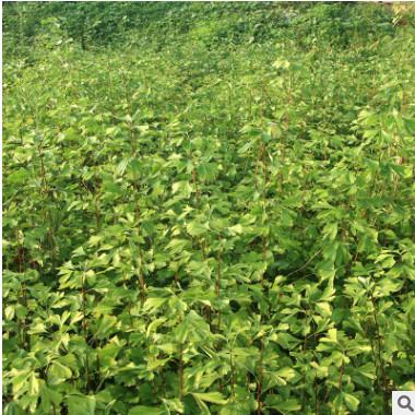 重庆苗木基地批发银杏苗 品种齐全绿化植物常绿乔木银杏树苗供应