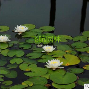 大睡莲根块室内池塘水池水培植物水生根块四季睡莲花根茎