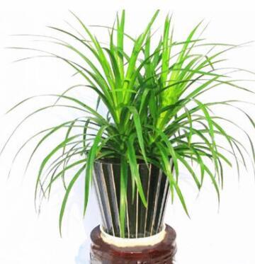 龙须树 龙铁树 多头龙血树 室内客厅大型盆栽 绿植盆景 净化空气