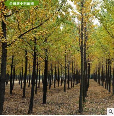 供应银杏树 广西银杏树 20-25公分银杏树 绿化工程树 桂林产地