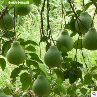 海南全冠凤凰木广东基地直销风景树种类