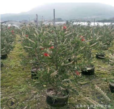 红千层 基地直销 批发各种垂叶植物