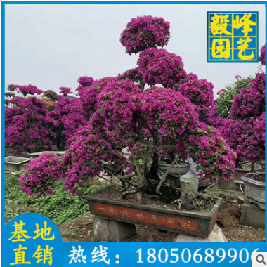 紫色三角梅造型 高1-3米 福建基地直销 三角梅价格