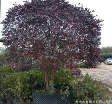 红花继木球 产地直销 批发 各种 继木 盆景 绿化树