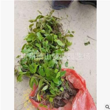 油麻藤有核 成活率高 四季 长绿 爬藤类 庭院