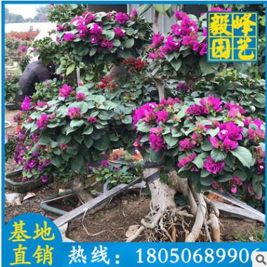三角梅造型盆景 庭院室内阳台盆景 福建厂家批发