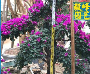 福建三角梅种植基地 毅峰园艺 长期供应三角梅