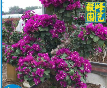 三角梅造型盆景价格 庭院室内阳台盆景 绿化苗木批发