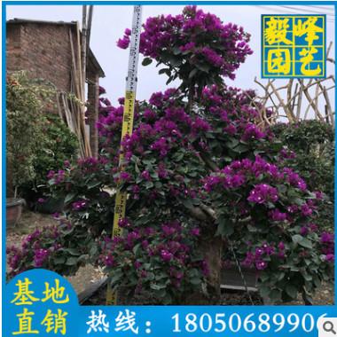 紫色造型三角梅批发 多规格供应 漳州种植基地