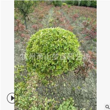 金边黄杨球  土球好 冠幅好 各种球类 园林 绿化工程苗