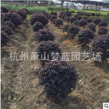 红花继木球  精品球 土球好 冠幅好 庭院 绿化工程