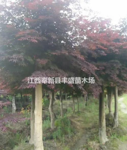 大量便宜供应红枫 樱花 深山含笑 木荷 枫香 青枫 红豆杉