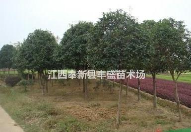 江西贵州地区供应马褂木 桂花 乐昌含笑 罗汉松 青枫香樟