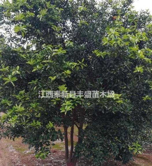 大量香泡树、多杆香泡树价格、单杆香泡树价格、丛生香泡树价格