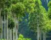 专家建议加快制定桉树经营国家标准