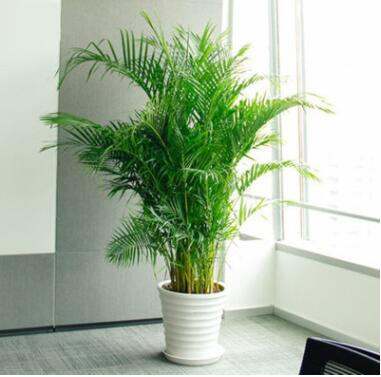 散尾葵大型绿植袖珍椰子客厅室内盆栽花卉盆景凤尾竹吸甲醛