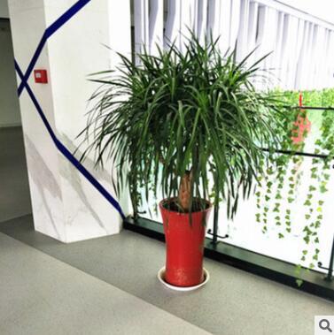 龙须树大型绿植多头龙血树龙铁树室内客厅盆栽花卉植物办公室盆景